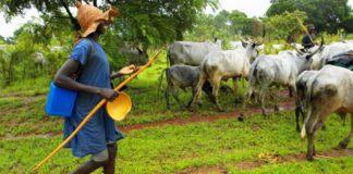 cattle fulani