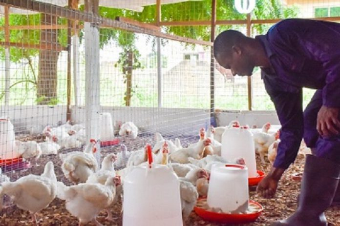 File photo of a poultry farmer
