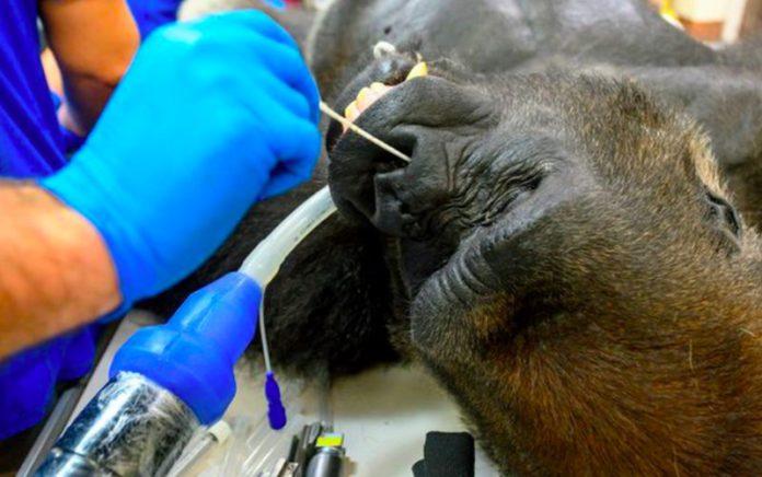 coronavirus gorilla