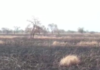 Some 320 out of 413 acres of rice farm belonging to the Northern Regional Chairman of the National Democratic Congress (NDC), Ibrahim Mobila has been consumed by fire. | Adomonline.com