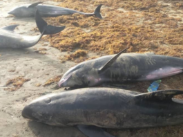 Dolphins washed ashore died from stress factors – Preliminary investigations