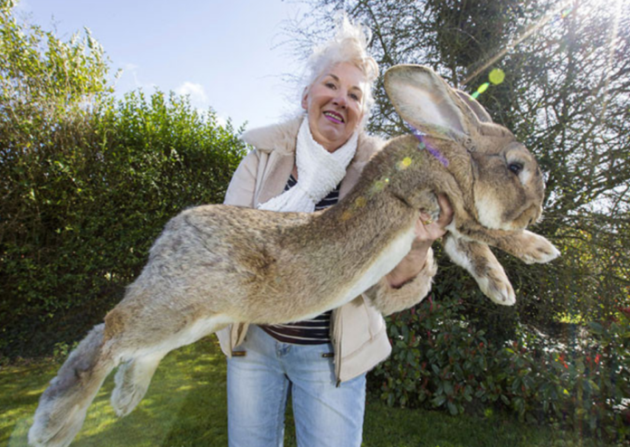 Annette Edwards with Darius, her continental giant rabbit – she has offered a £1,000 reward for his return